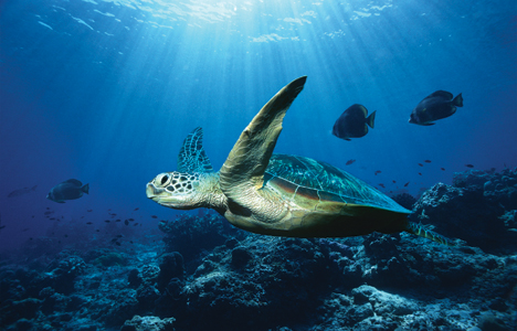 ocean-turtle